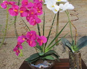 Orqudeas Diversas
