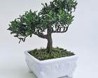 ARRANJO BONSAI - 02