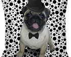 Almofada Magic Pug