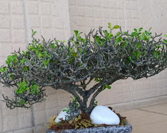 Bonsai Imperiale artificial