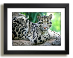 Quadro Tigre Mundo Animal Decor Sala F37