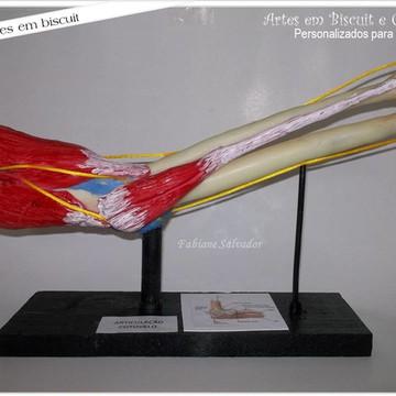 Maquete articulação do cotovelo