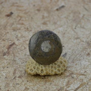 Anel Amonita Fóssil do Marrocos Base Regulável