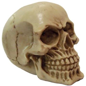 Crânio 1 Newton feito em Resina