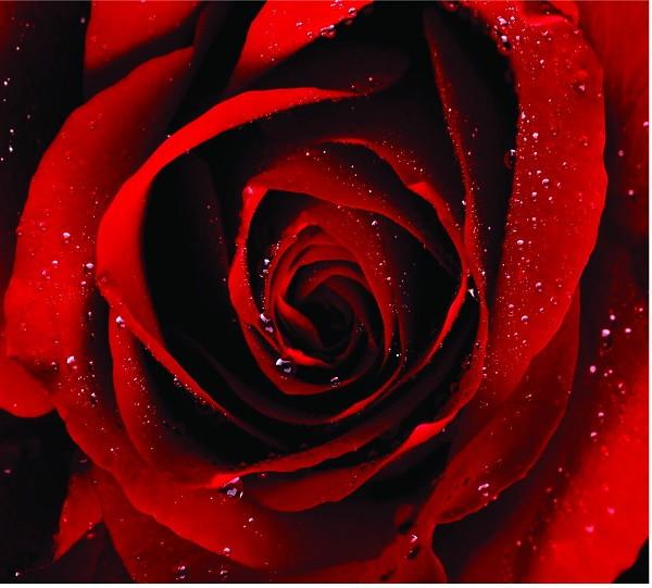 Rosa Vermelha Amarela Bonsai Flor Plantas - R$ 7,42 em ...  |Rosa Flor Vermelha