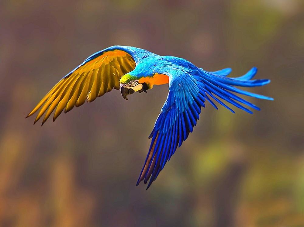 Favoritos Quadro Decorativo - Arara Azul !!! no Elo7 | Prisma Cartuchos (97543F) PP12
